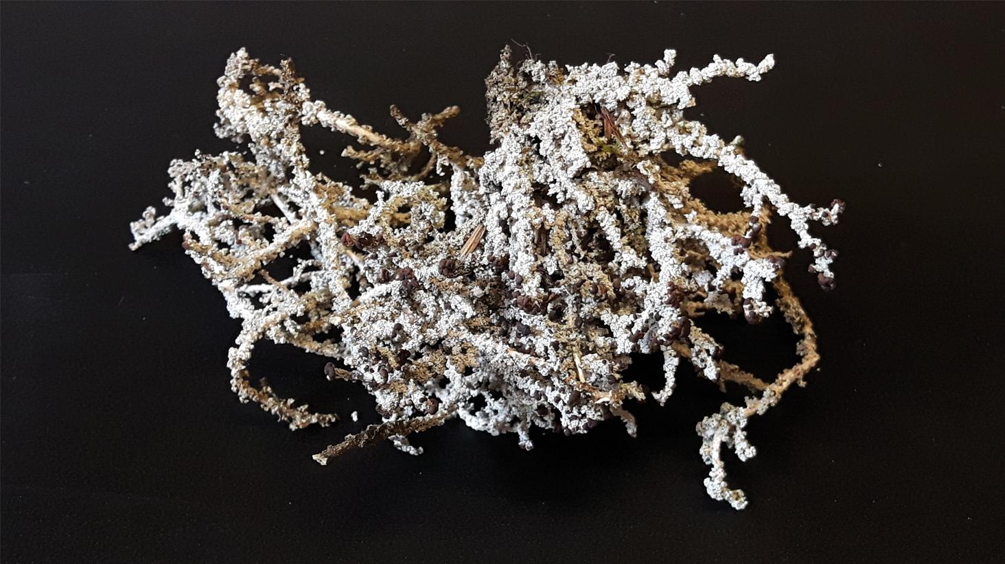 Un lichen du Nord québécois révèle ses secrets