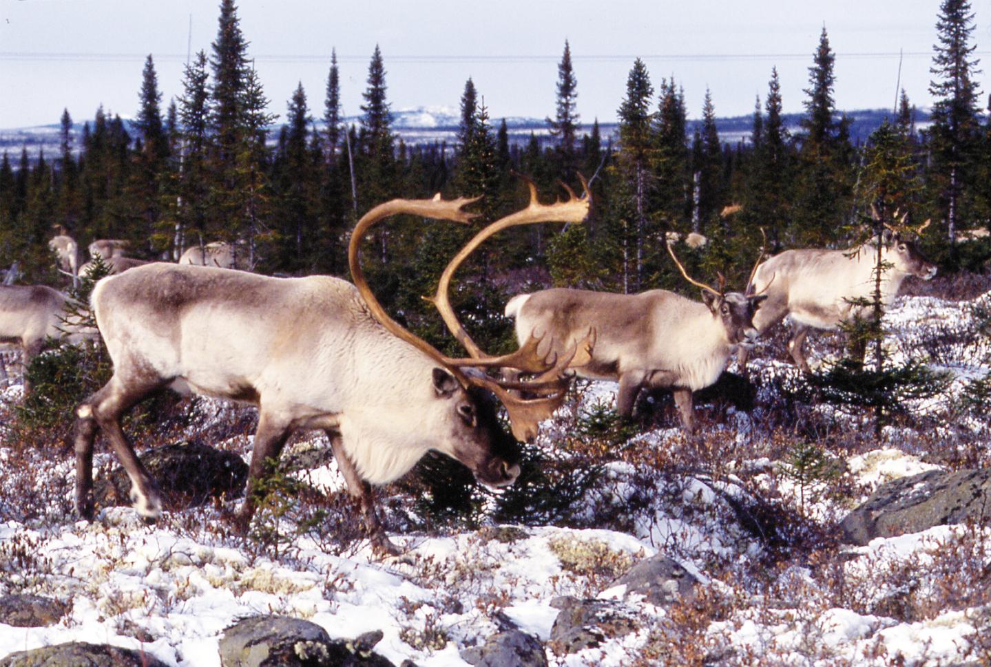 Une population de caribous décimée